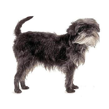 Affenpinscher Photo