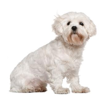 Cavachon Photo