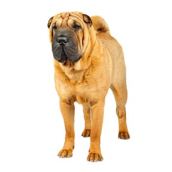 Chinese Sharpei Photo