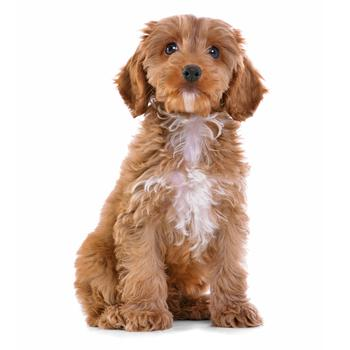 Cockapoo Photo