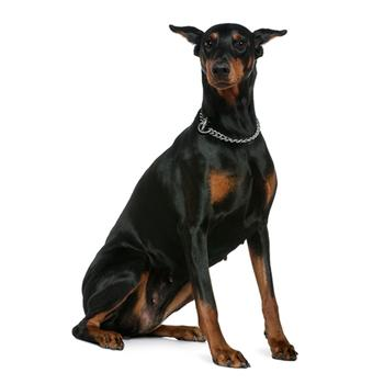 Doberman Pinscher Photo
