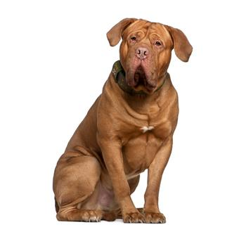 Dogue de Bordeaux Photo
