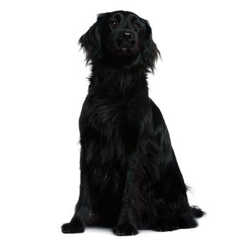 Flat Coated Retriever Photo