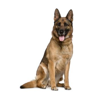 German Shepherd Photo