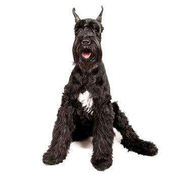Giant Schnauzer Photo