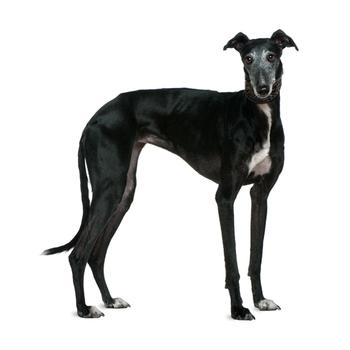 Greyhound Photo