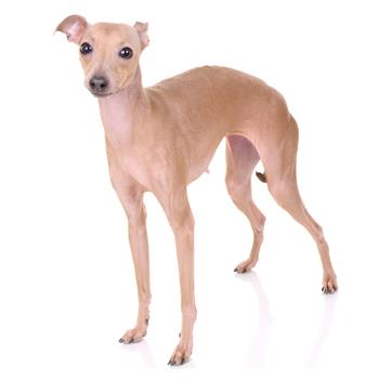 Italian Greyhound Photo