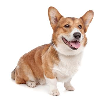 Pembroke Welsh Corgi Photo