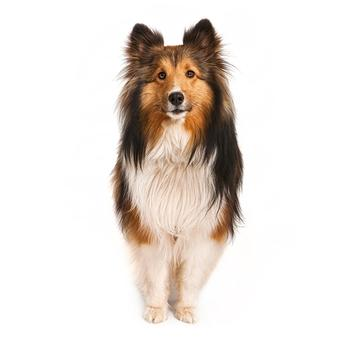 Shetland Sheepdog Photo