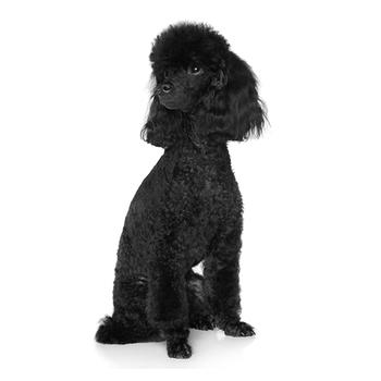 Standard Poodle Photo