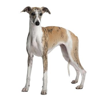 Whippet Photo