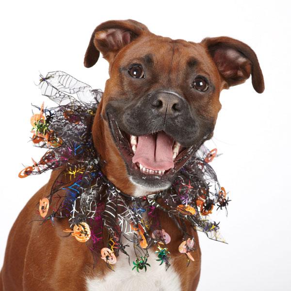 Aria Halloween Sparkle Dog Scrunchy