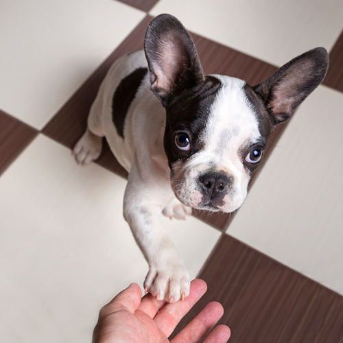 affordable french bulldog 5 risky dog breeds cute doesn t come cheap baxterboo 2405