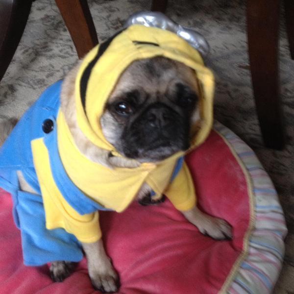 Minion Dog Costume Baxterboo