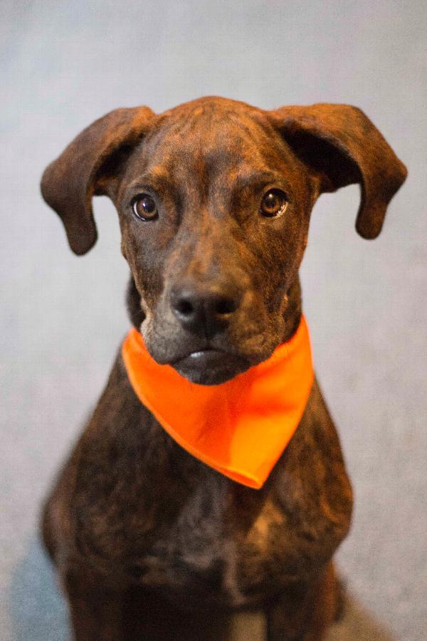 Plain Dog Bandana - Orange