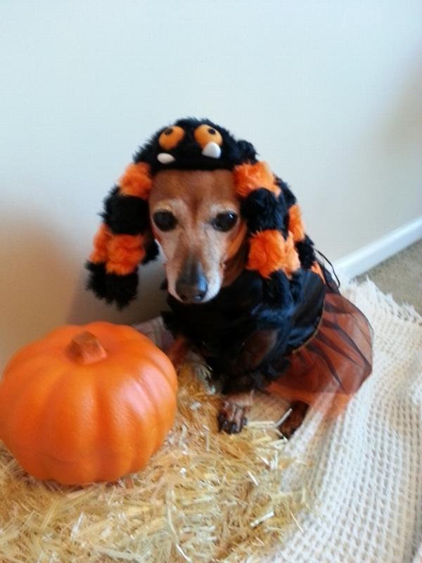 Spooky Spider Halloween Dog Costume Baxterboo