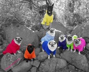 Pug Party Plus One - Frank in blue