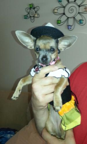 Candy Corn Witch Dog Halloween Costume Baxterboo