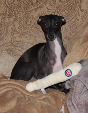 Suki, the Italian Greyhound