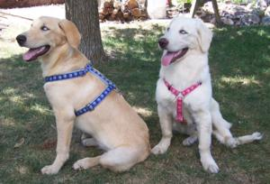 Ayla (blue harness) & Muttley (pink harness)
