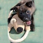 View Image 2 of Koala Bear with Rope Dog Toy