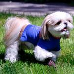 View Image 2 of Studded Paw Dog Shirt by Gooby - Blue