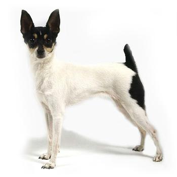 American Toy Terrier Photo