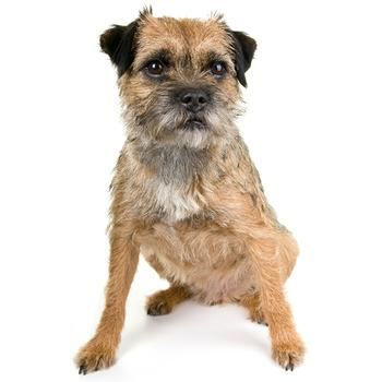 Border Terrier Photo