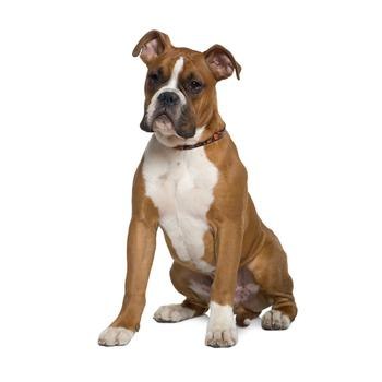 Boxer Dog Clothing For Humans
