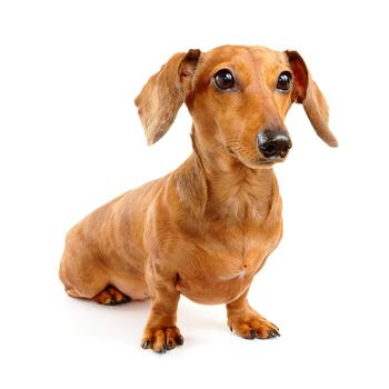 Dachshund Photo