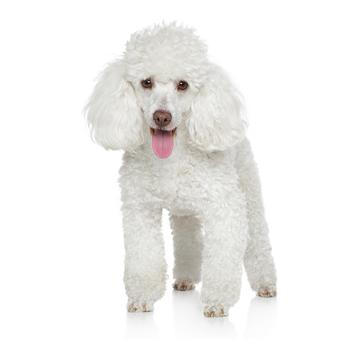 Miniature Poodle Photo