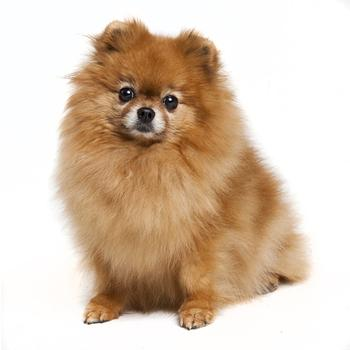 Pomeranian dog clothes online