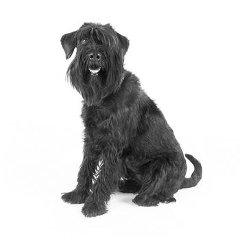 Standard Schnauzer Photo