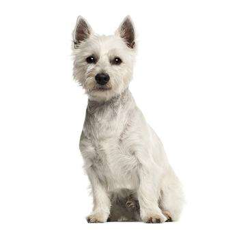 West Highland White Terrier Photo