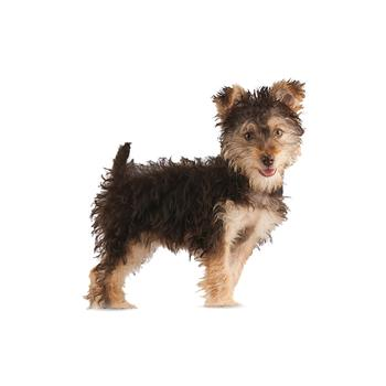 Yorkipoo Photo