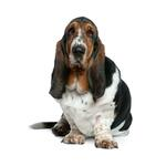 Shop for Basset Hounds