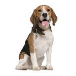 Shop for Beagles