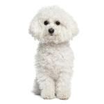 Shop for Bichon Frises