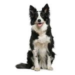 Shop for Border Collies