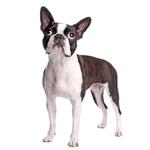 Shop for Boston Terriers