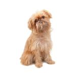 Shop for Brussels Griffons