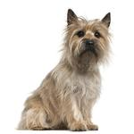 Shop for Cairn Terriers