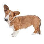 Shop for Cardigan Welsh Corgis