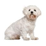 Shop for Cavachons