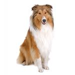 Shop for Collies