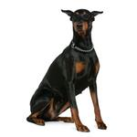 Shop for Doberman Pinschers