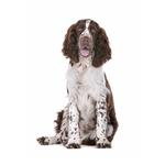 Shop for English Springer Spaniels