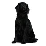 Shop for Flat Coated Retrievers