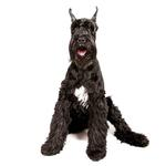 Shop for Giant Schnauzers