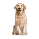 Shop for Golden Retrievers